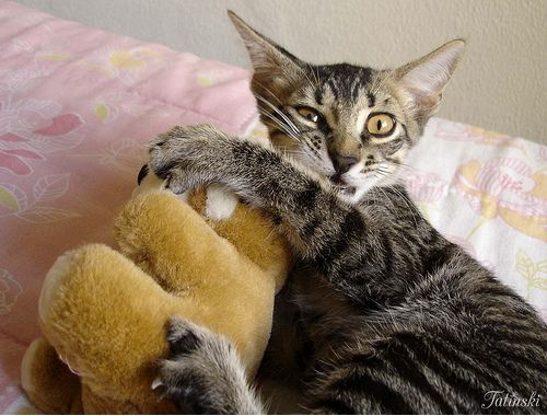cute rescued cat playing with teddy bear