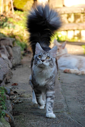 cute maine coon cat