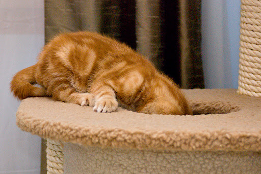 cute ginger kitten investigating scratching post