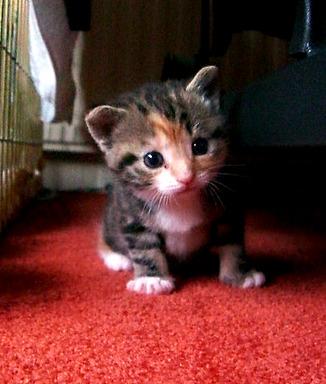 cute rescued foster kitten