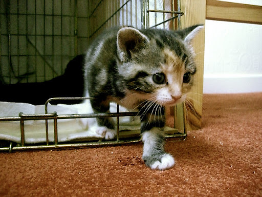 cute rescued kitten stepping out of cage