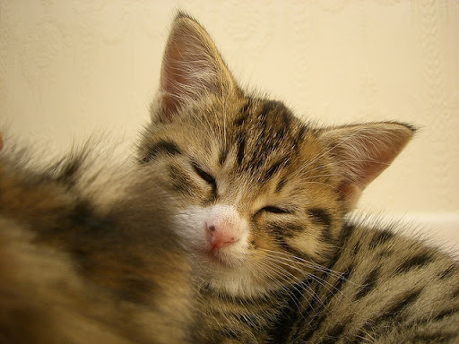 cute rescued foster kitten napping