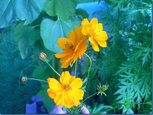 Summer 2009 flowers 009