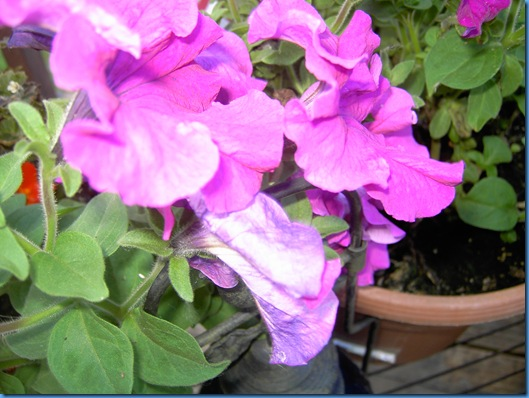 Summer 2009 flowers 004