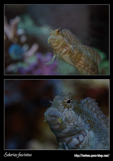 Salarias-fasciatus.jpg