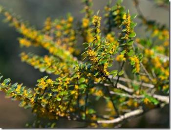 azara_microphylla
