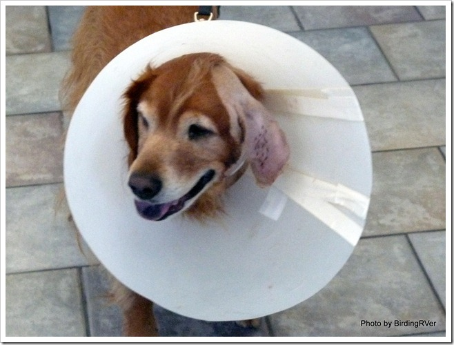 "Oh, NO! I am a ""cone dog"" again"