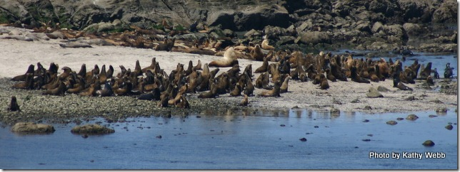 California Sea Lions charging to the beach