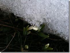snödroppar