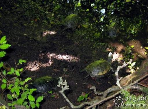 رهاسازی لاک پشتهای برکه ای Turtle-Abandon-Rasht-3