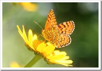flor silvestre_borboleta