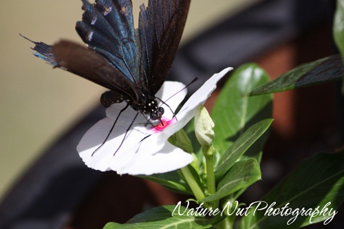 Tattered Wings - PipeVine Swallowtail