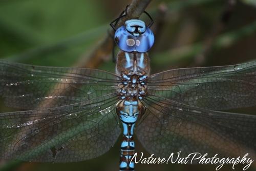 Blue Darner Dragonfly4