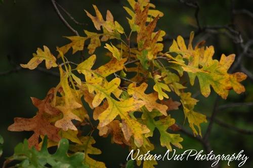 acorn leaves2