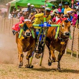 Karapan Sapi by Erwin Sutarko - News & Events Sports ( tradisional, indonesia, sport, madura, karapan sapi, culture )