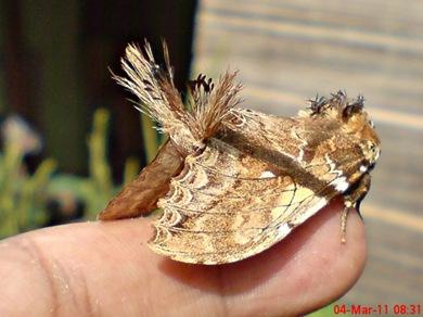 dudusa vethi snellen_lepidoptera_moth_ngengat 05