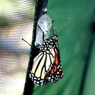 kupu-kupu keluar dari kepompong 9
