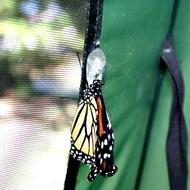 kupu-kupu keluar dari kepompong 10