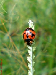 transverse ladybird 04