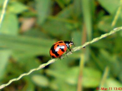 transverse ladybird 06