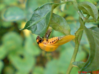 transverse ladybug emerged from the pupa 07