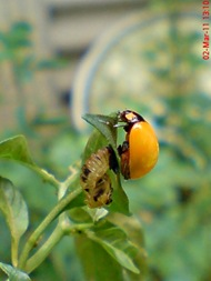 transverse ladybug emerged from the pupa 02