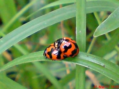 ladybird mating 02