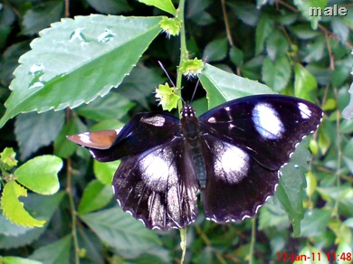 Common Eggfly Butterfly - Hypolimnas bolina - male 2