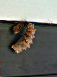 caterpillar turn into chrysalis 10