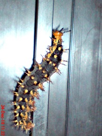 a Common Eggfly Butterfly caterpillar 02