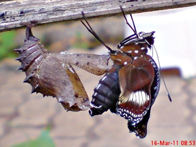 Common Eggfly Butterfly Emerging from a Chrysalis 04