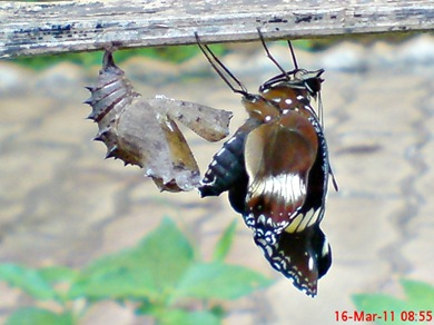 Common Eggfly Butterfly Emerging from a Chrysalis 06