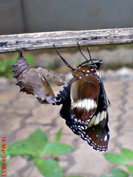 Common Eggfly Butterfly Emerging from a Chrysalis 07