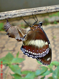 Common Eggfly Butterfly Emerging from a Chrysalis 10