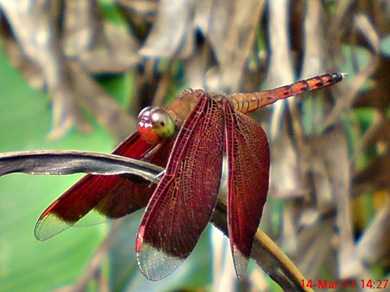 Neurothemis terminata_Straight-edged Red Parasol 03