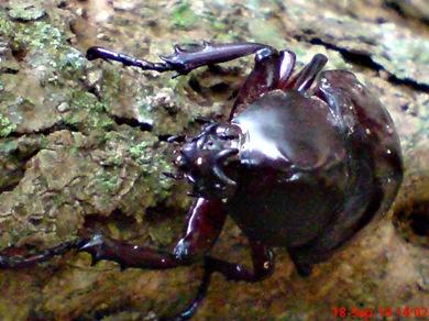 Xylotrupes gideon_Kumbang Badak_Rhinoceros Beetle 02