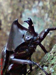 Xylotrupes gideon_Kumbang Badak_Rhinoceros Beetle 06