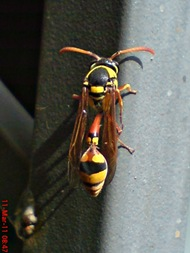 Delta campaniforme_Yellow and black potter wasp 07
