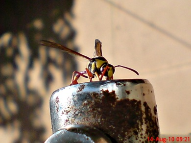 Delta campaniforme_Yellow and black potter wasp 01
