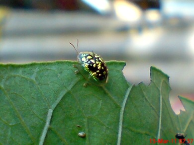 green Tortoise Beetle_Cassida circumdata 03