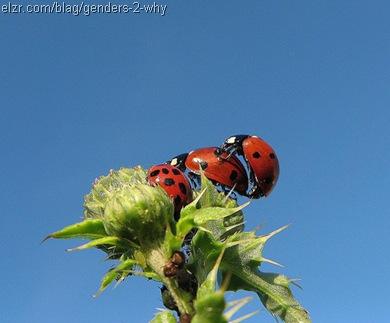 ladybug-threesome