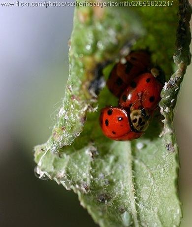 ladybug orgy