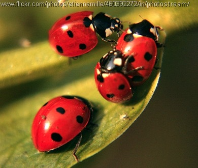 ladybug foursome
