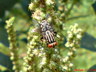 Sarcophaga carnaria_Flesh Fly_Lalat 02
