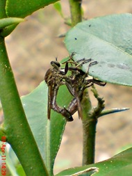 robber fly mating 01