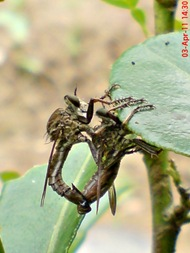 robber fly mating 02
