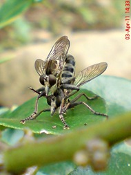 robber fly mating 06