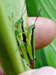 grasshopper_belalang_Oxya chinensis 6