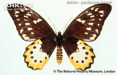 ARKive image GES014607 - Chimaera birdwing
