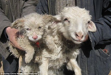 anak domba seperti anjing